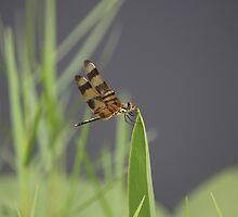 Striped Dragon Fly by roadsidestills