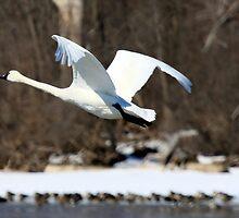 Trumpeter Swan in flight by Chris Coates