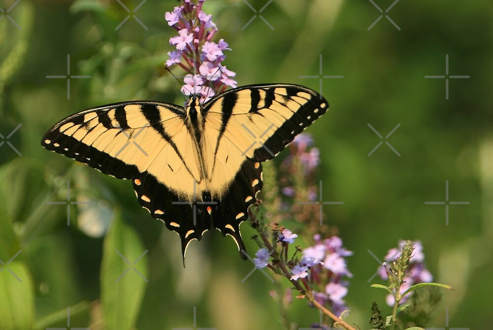 Eastern Tiger Swallowtail by Lisa G. Putman