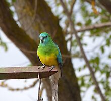 Who's a Handsome Boy Then!  Red Rumped Parrot, 'Arilka' Mt. Pleasant. by Rita Blom