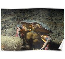 Momma Crab with Eggs Poster