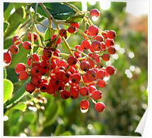 Red Berry Plant Poster