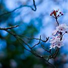 Blue and pink spring bokeh by benivory