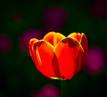 Red tulip flower by luckypixel