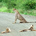 AROUND THE CORNER - THE CHEETAH MOTHER AND CUBS -  Acinonyx jabatus – Die Jagluiperd by Magaret Meintjes