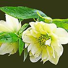 Beautiful spring white peony flowers and green leaves floral photo art. by naturematters