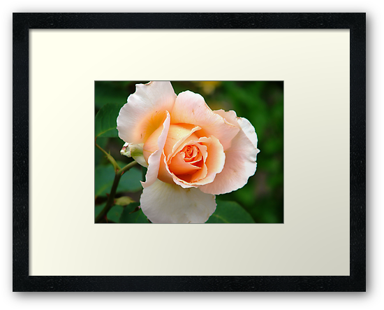 A rose in the garden by Shaun Swanepoel