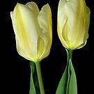 Tulip twins by VickiOBrien