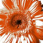 Orange Gerbera by Natalie Richardson