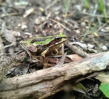 Southern Brown Tree Frog (Green form). by TootgarookSwamp