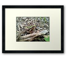 Southern Brown Tree Frog (Green form). Framed Print