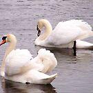 2 Swans by karenlynda