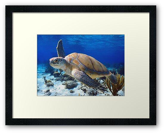 Green turtle by Carlos Villoch