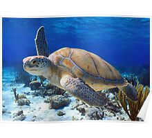 Green turtle Poster