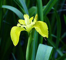 Iris Pseudacorus by Graham Geldard