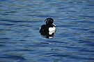 Black And White Male Tufted duck   by davesphotographics