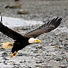 Bald Eagle - Homer Alaska by Barbara Burkhardt
