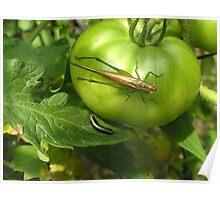 Tomato Hopping Poster