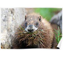 Nesting Marmot Poster