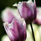 Purple Tulips by Martina Fagan