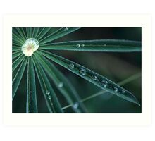 Dew on Lupine, Maine Art Print
