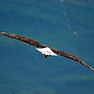Bald Eagle Fly By by Barbara Burkhardt