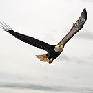 Bald Eagle by Barbara Burkhardt