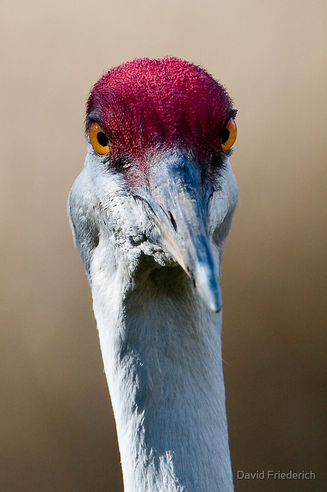 Sandhill Crane Up Close by David Friederich