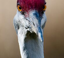 Sandhill Crane Up Close by David Friederich