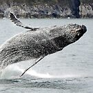 Breaching Humpback Whale by Barbara Burkhardt