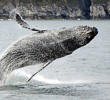 Breaching Humpback Whale by Barbara Burkhardt