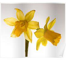 Daffodil Haiku Poster