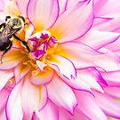 Beautiful Bee & Dahlia by daphsam