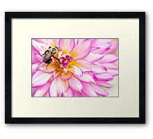 Beautiful Bee & Dahlia Framed Print