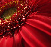 Daisy by Carole Brunet