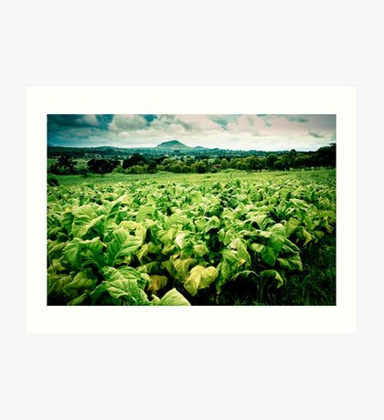 Tobacco Crop, Malawi Art Print