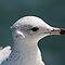 Seagulls Up Close