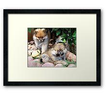Pomeranian Puppies Framed Print