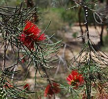 Bottlebrush by Hannah Saldaris
