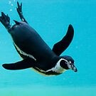 Magellanic Penguin (Spheniscus magellanicus) by Mariann Rea