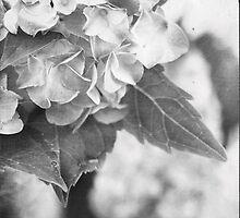 Hydrangea in Black and White by Stephanie Frey