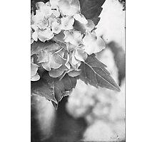 Hydrangea in Black and White Photographic Print