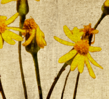 Golden Ragwort - Textured Sticker