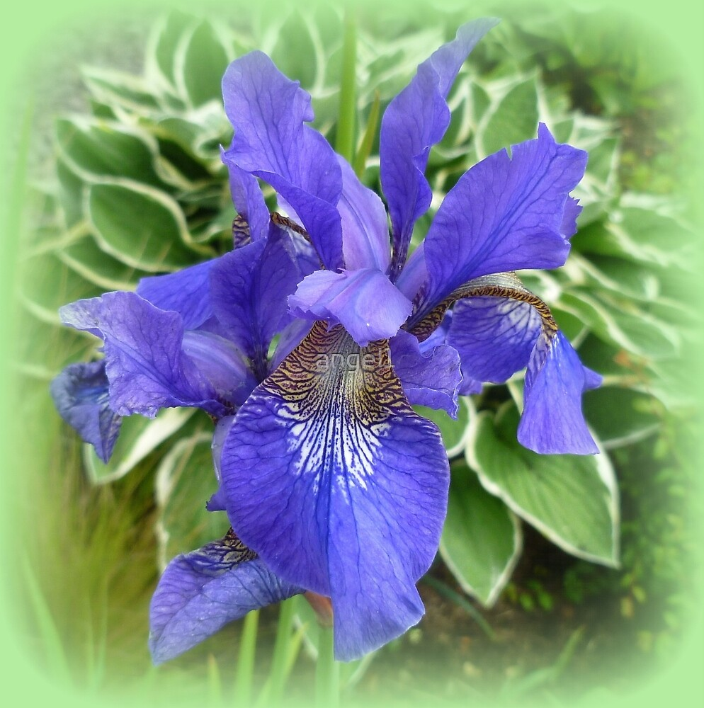Iris by ©The Creative  Minds