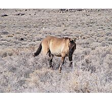wild horse in a desolate desert Photographic Print