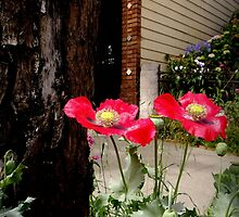 Feral Poppies by Michael May
