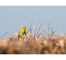 A Stunning Yellowhammer! Photographic Print
