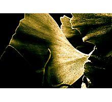 Gingko Photographic Print