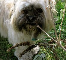 Lhasa Apso No.1 by lovebitten