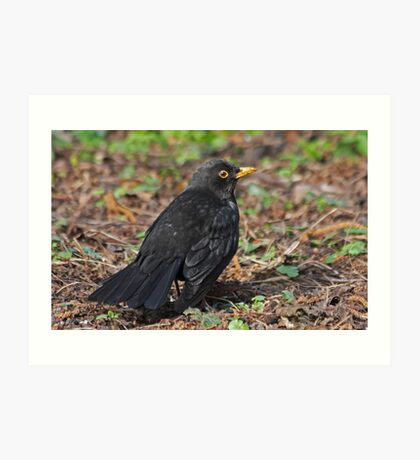 Dominant Male Blackbird Art Print